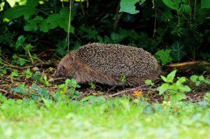 garder un hérisson dans le jardin : comment faire
